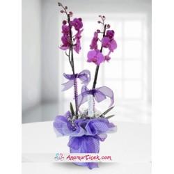 2 Dallı Fusya Orkide