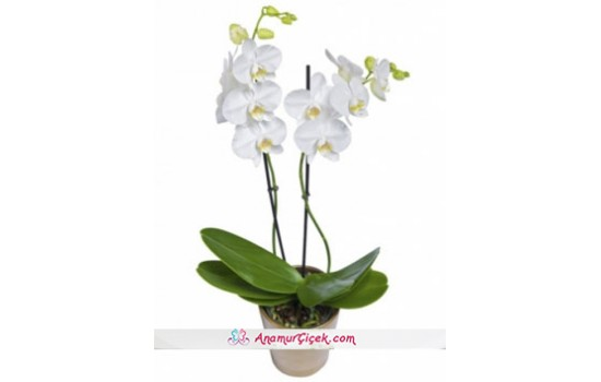 Büyük Boy Orkide